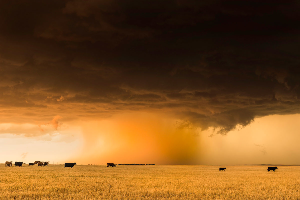 Supercell with Cattle in Wheatfield. Kansas – Eric Meola